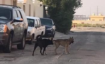 فيديو وصور لكلاب ضالة تتربص بالأطفال في حي التملك بالخفجي