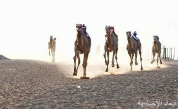 """انطلاق السباق الأسبوعي الـ30 بميدان تبوك للهجن لـ """"الثنايا والحيل والسودانيات والجذاع"""""""
