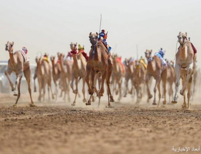 ملاك الهجن بالخفجي يطالبون بإفتتاح ميدان «نملان» لسباقات الأبل