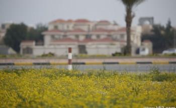 """بالصور : زهرة """"النوير"""" تعود لأحياء وبر الخفجي وتكسيها باللون الأصفر"""