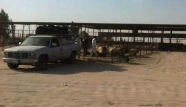 بعد منع تصدير الأغنام والحطب من منفذ الخفجي:إنخفاض الأسعار من 10% إلى 25%