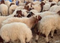 تصدير أكثر من ٢٥٠ رأس ماشيه عبر منفذ الخفجي