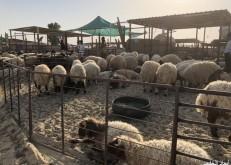 مربو مواشي الخفجي يطالبون بتوفر فرع لوزراة الزراعة لمكافحة الأمراض وصرف التحصينات
