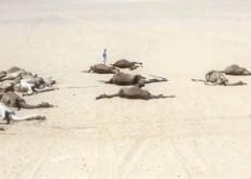 «البيئة»: مركب دوائي في الأعلاف وراء نفوق الإبل في الخفجي وحفر الباطن