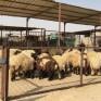 «أبعاد الخفجي» ترصد إرتفاع الأسعار في سوق الأغنام قبل رمضان