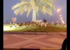 بالفيديو..مواطن يوثق إنتشار الكلاب الضالة بين أحياء الخفجي