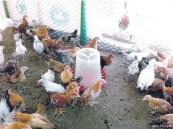 ارتفاع أسعار الدجاج في الشرقية .. والزراعة تبحث عن حلول لخفضها