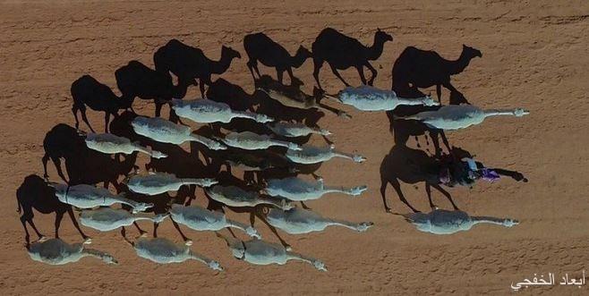 «البيئة»: استبعاد حوارين قبل دخولها مهرجان الملك عبدالعزيز بعد اكتشاف إصابتها بـ «كورونا»