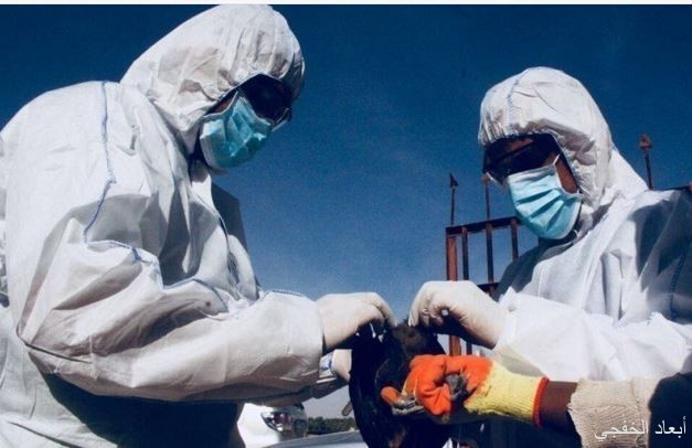 تسجيل إصابة واحدة بإنفلونزا الطيور H5N8 في القويعية