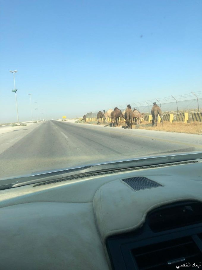 جمال سائبة تهدد مرتادي طريق الملك عبدالله بإتجاه منفذ الخفجي